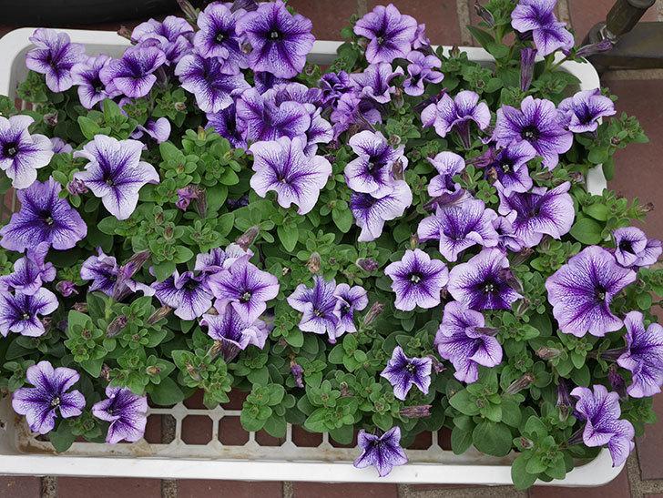 紫系のペチュニアの苗をホームズで13個買って来た。2021年-001.jpg