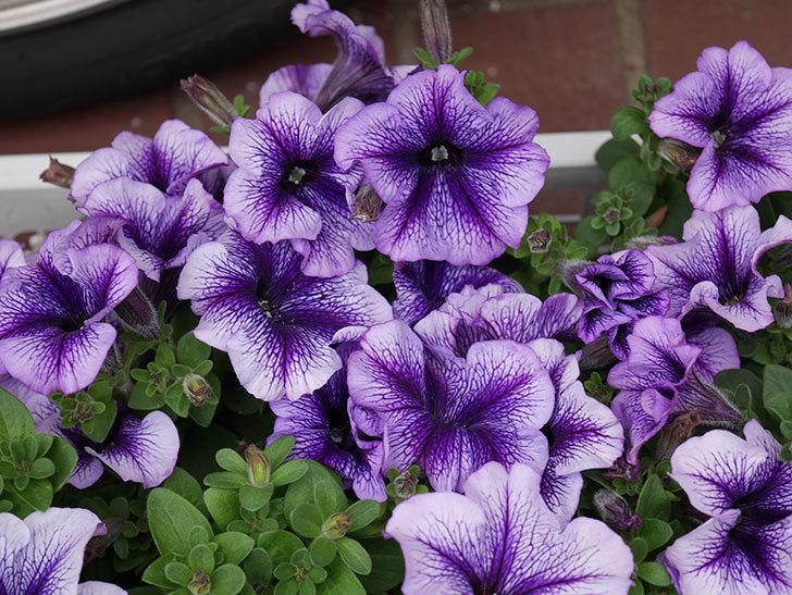 紫系のペチュニアの苗をホームズで13個買って来た。2021年-002.jpg