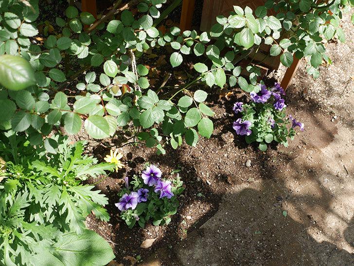 紫系のペチュニアの苗をホームズで13個買って来た。2021年-013.jpg