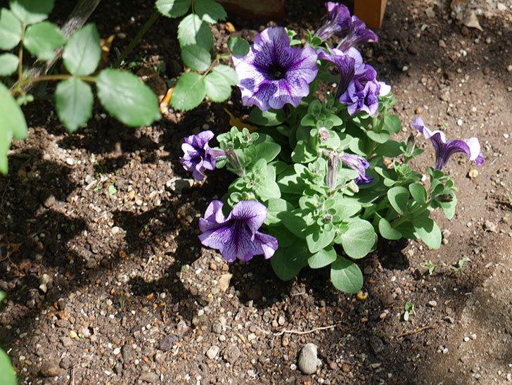 紫系のペチュニアの苗をホームズで13個買って来た。2021年-014.jpg