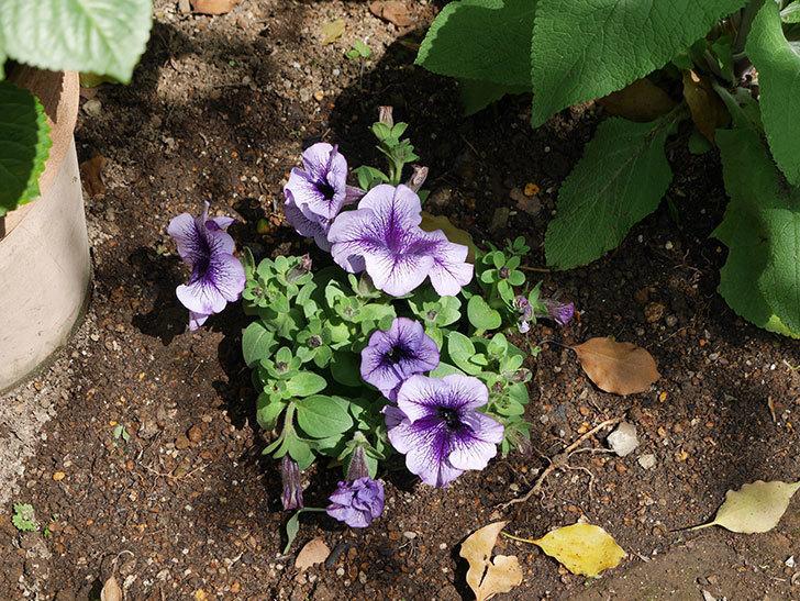 紫系のペチュニアの苗をホームズで13個買って来た。2021年-015.jpg