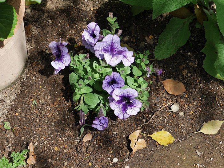 紫系のペチュニアの苗をホームズで13個買って来た。2021年-016.jpg