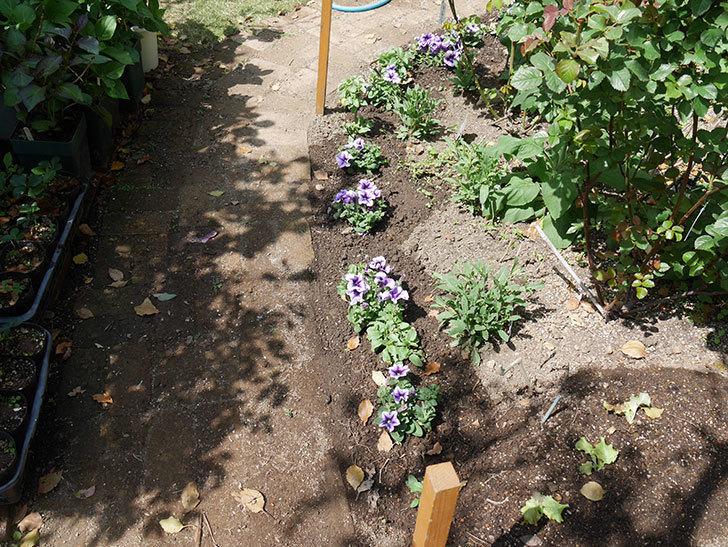 紫系のペチュニアの苗をホームズで13個買って来た。2021年-017.jpg