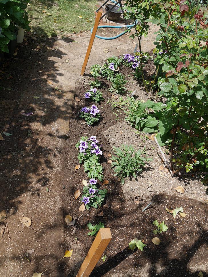 紫系のペチュニアの苗をホームズで13個買って来た。2021年-018.jpg