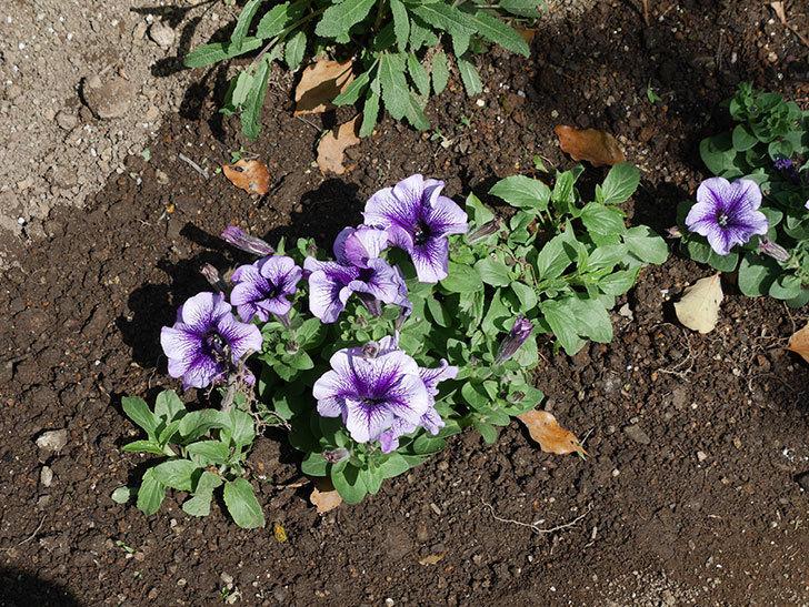 紫系のペチュニアの苗をホームズで13個買って来た。2021年-021.jpg