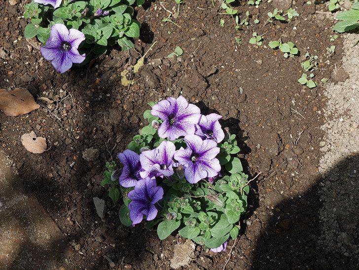紫系のペチュニアの苗をホームズで13個買って来た。2021年-023.jpg