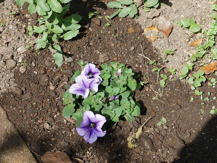 紫系のペチュニアの苗をホームズで13個買って来た。2021年-024.jpg
