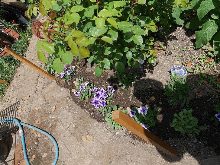 紫系のペチュニアの苗をホームズで13個買って来た。2021年-025.jpg
