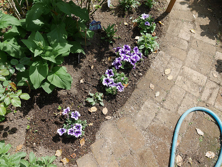 紫系のペチュニアの苗をホームズで13個買って来た。2021年-026.jpg