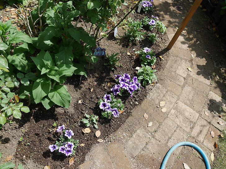 紫系のペチュニアの苗をホームズで13個買って来た。2021年-027.jpg