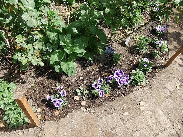 紫系のペチュニアの苗をホームズで13個買って来た。2021年-028.jpg