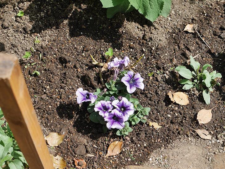 紫系のペチュニアの苗をホームズで13個買って来た。2021年-029.jpg