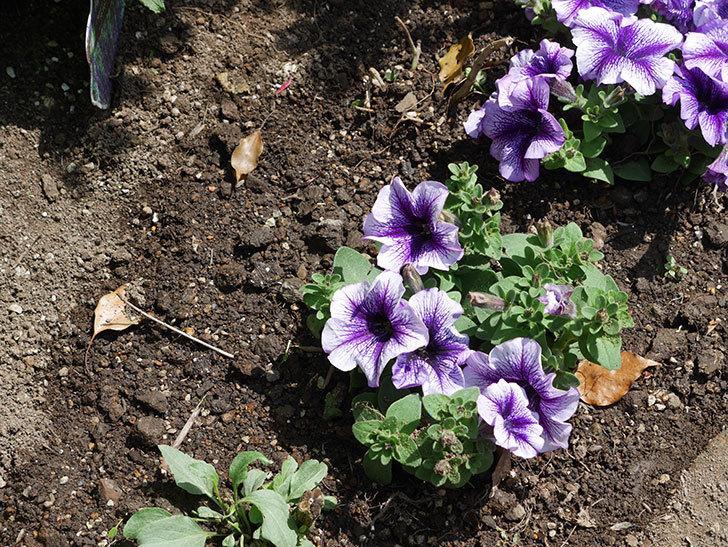 紫系のペチュニアの苗をホームズで13個買って来た。2021年-030.jpg