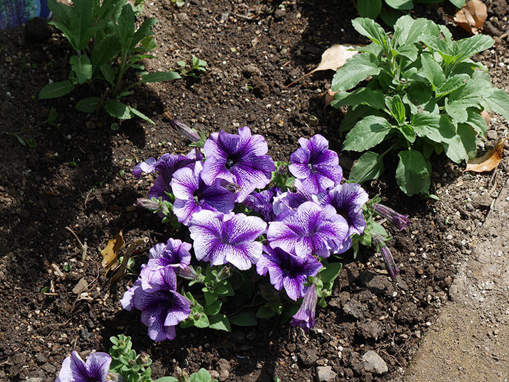 紫系のペチュニアの苗をホームズで13個買って来た。2021年-031.jpg