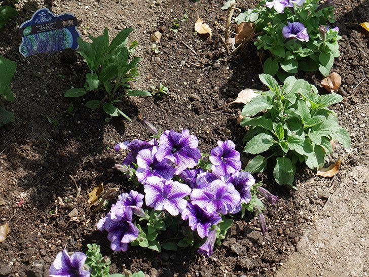紫系のペチュニアの苗をホームズで13個買って来た。2021年-033.jpg