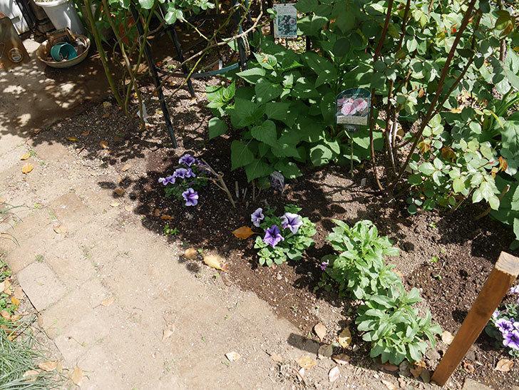 紫系のペチュニアの苗をホームズで13個買って来た。2021年-034.jpg