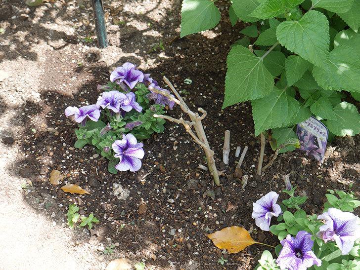 紫系のペチュニアの苗をホームズで13個買って来た。2021年-035.jpg