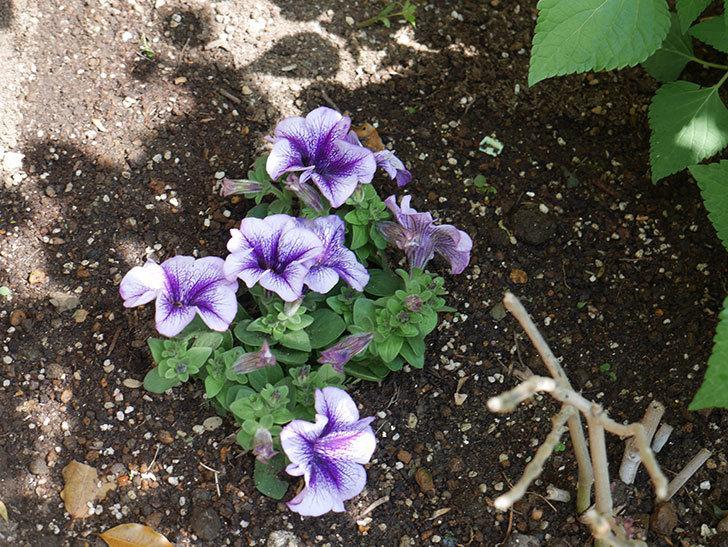 紫系のペチュニアの苗をホームズで13個買って来た。2021年-037.jpg