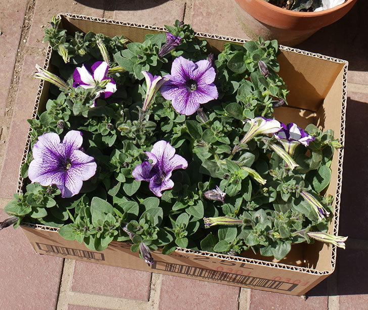 紫系のペチュニアの苗をホームズで5個買って来た。2020年-1.jpg