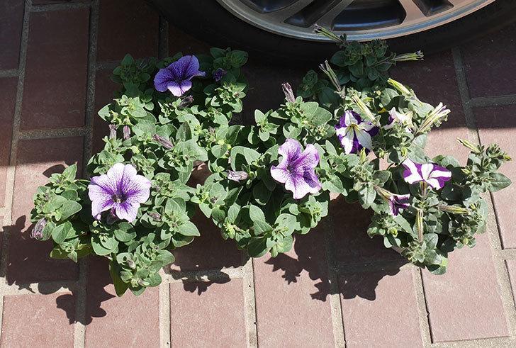 紫系のペチュニアの苗をホームズで5個買って来た。2020年-2.jpg