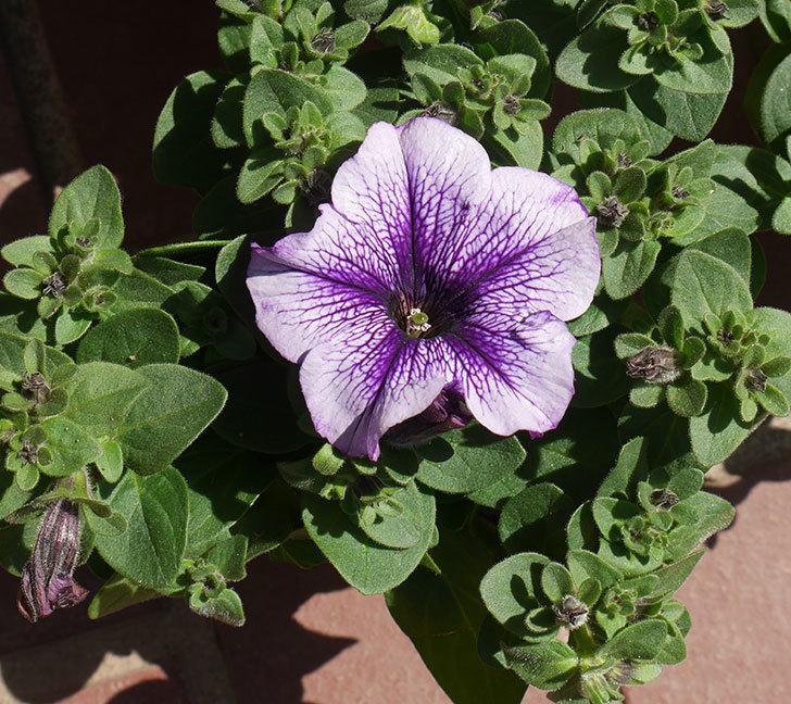 紫系のペチュニアの苗をホームズで5個買って来た。2020年-3.jpg