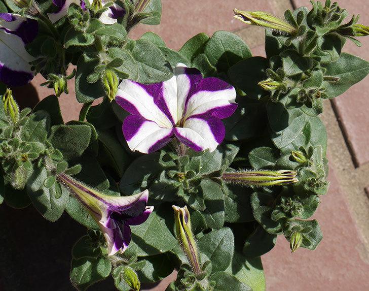 紫系のペチュニアの苗をホームズで5個買って来た。2020年-4.jpg
