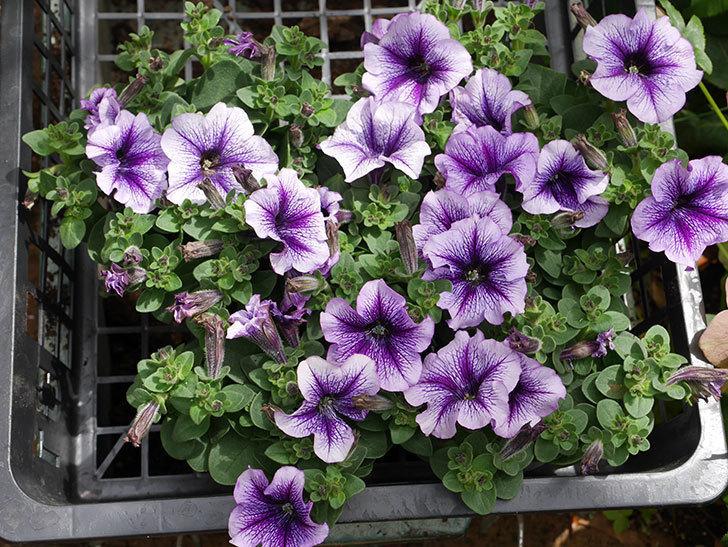 紫系のペチュニアの苗をホームズで5個買って来た。2021年-001.jpg