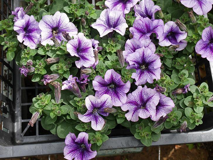 紫系のペチュニアの苗をホームズで5個買って来た。2021年-002.jpg