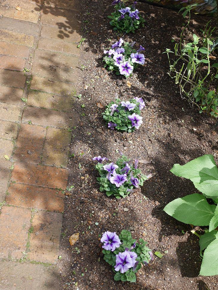 紫系のペチュニアの苗をホームズで5個買って来た。2021年-009.jpg