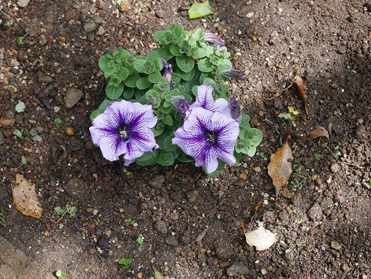 紫系のペチュニアの苗をホームズで5個買って来た。2021年-010.jpg