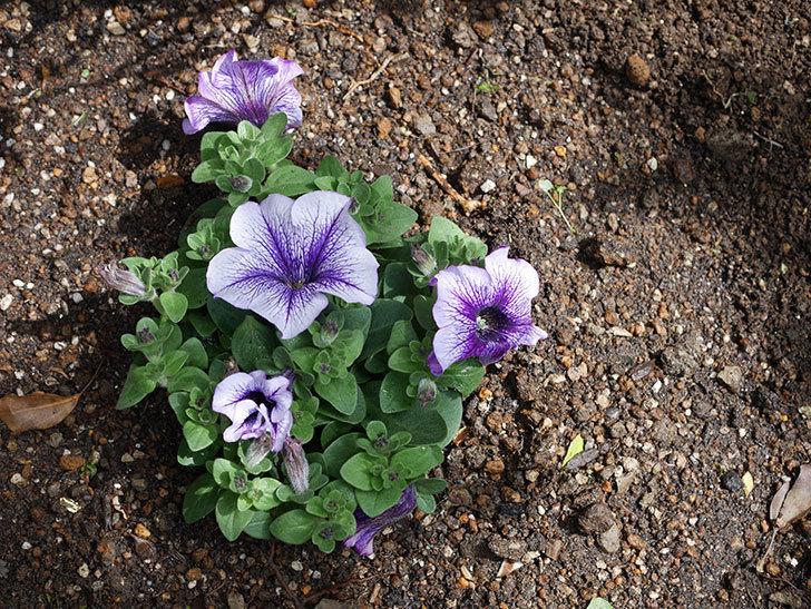 紫系のペチュニアの苗をホームズで5個買って来た。2021年-011.jpg