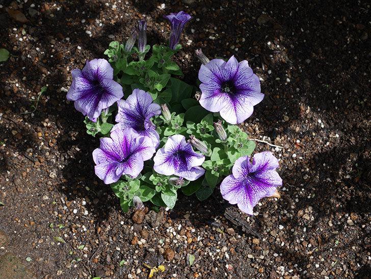 紫系のペチュニアの苗をホームズで5個買って来た。2021年-012.jpg