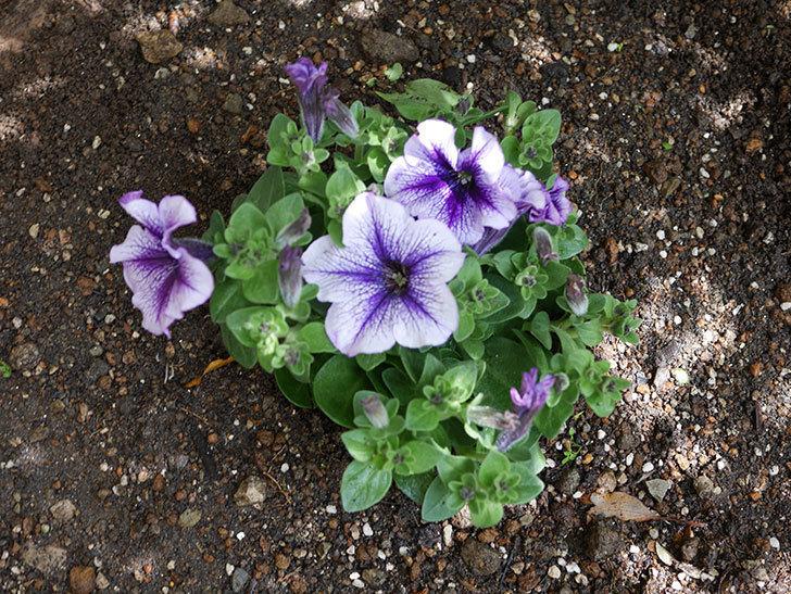 紫系のペチュニアの苗をホームズで5個買って来た。2021年-013.jpg