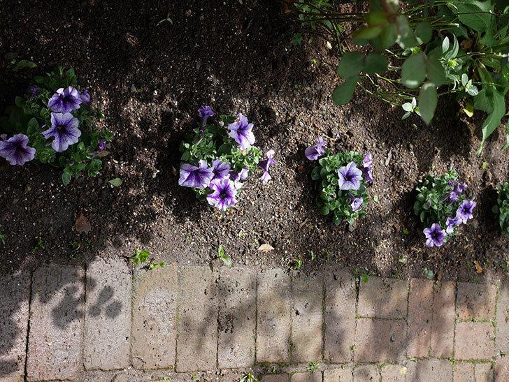 紫系のペチュニアの苗をホームズで5個買って来た。2021年-014.jpg