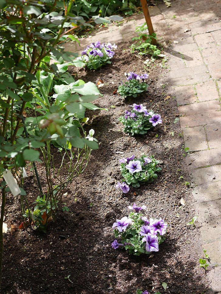 紫系のペチュニアの苗をホームズで5個買って来た。2021年-015.jpg