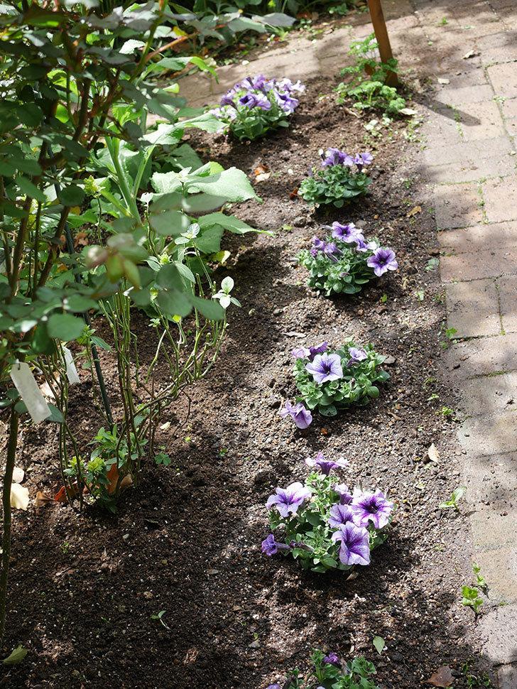 紫系のペチュニアの苗をホームズで5個買って来た。2021年-016.jpg