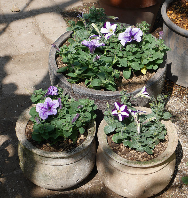 紫系のペチュニアの苗を鉢に植えた。2020年-1.jpg