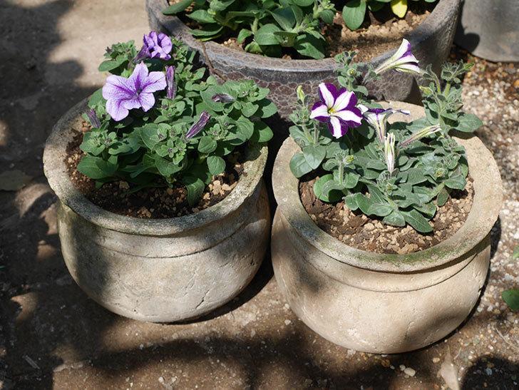 紫系のペチュニアの苗を鉢に植えた。2020年-10.jpg