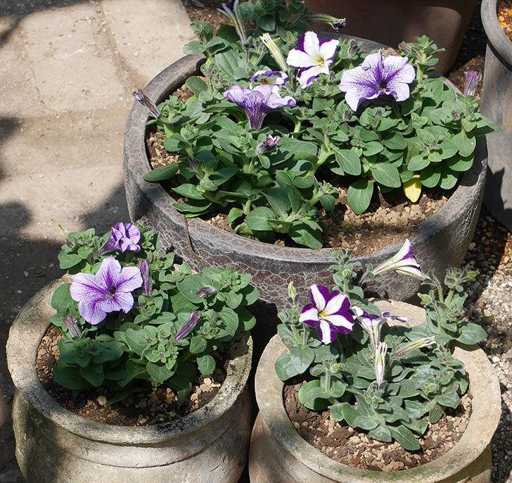 紫系のペチュニアの苗を鉢に植えた。2020年-11.jpg