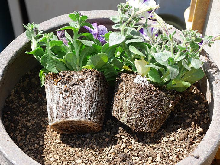 紫系のペチュニアの苗を鉢に植えた。2020年-2.jpg