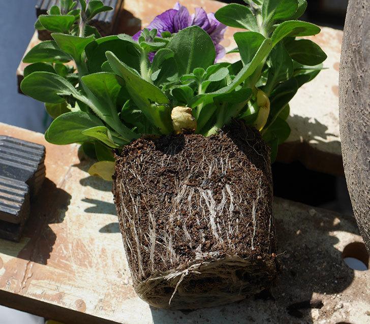 紫系のペチュニアの苗を鉢に植えた。2020年-3.jpg