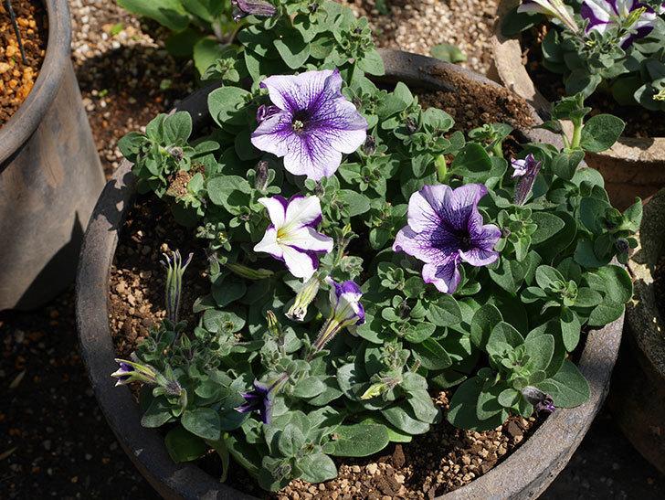 紫系のペチュニアの苗を鉢に植えた。2020年-4.jpg