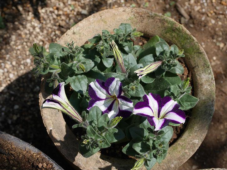 紫系のペチュニアの苗を鉢に植えた。2020年-6.jpg