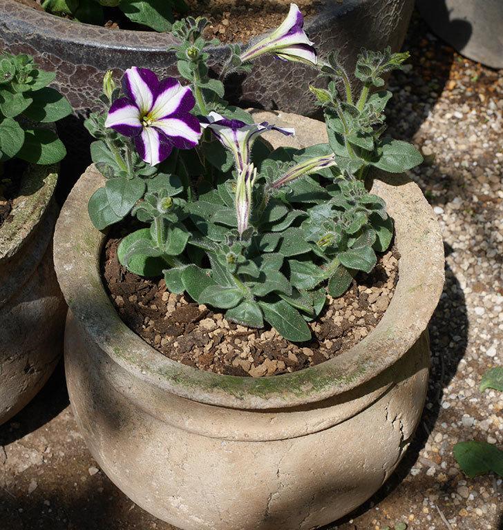 紫系のペチュニアの苗を鉢に植えた。2020年-7.jpg