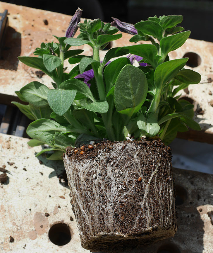 紫系のペチュニアの苗を鉢に植えた。2020年-8.jpg