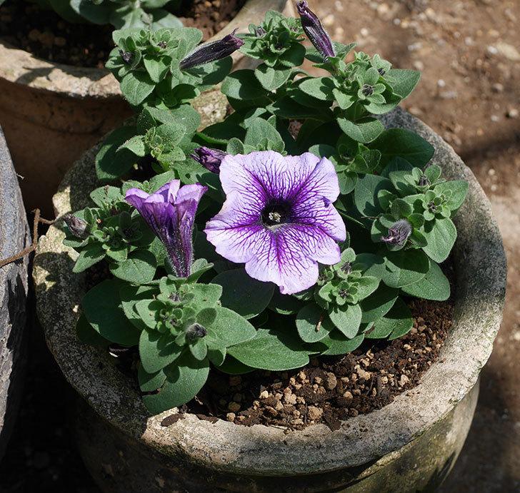 紫系のペチュニアの苗を鉢に植えた。2020年-9.jpg