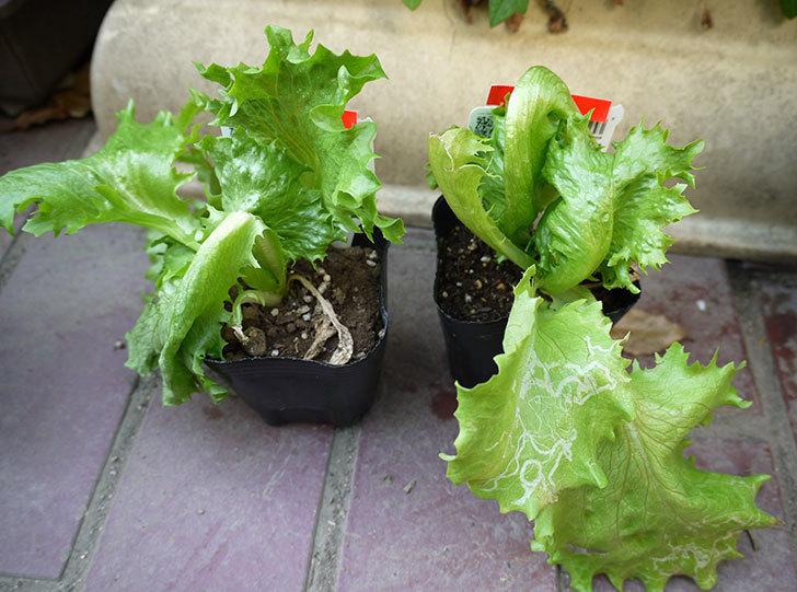 結球レタス-オリンピアの苗がカインズで半額だったので2個買って来た1.jpg