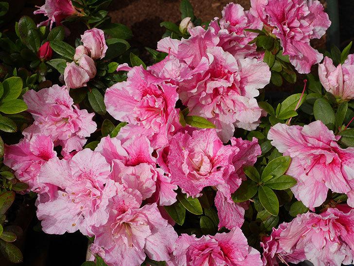 絞りのアザレアの花がたくさん咲いた。2020年-2.jpg