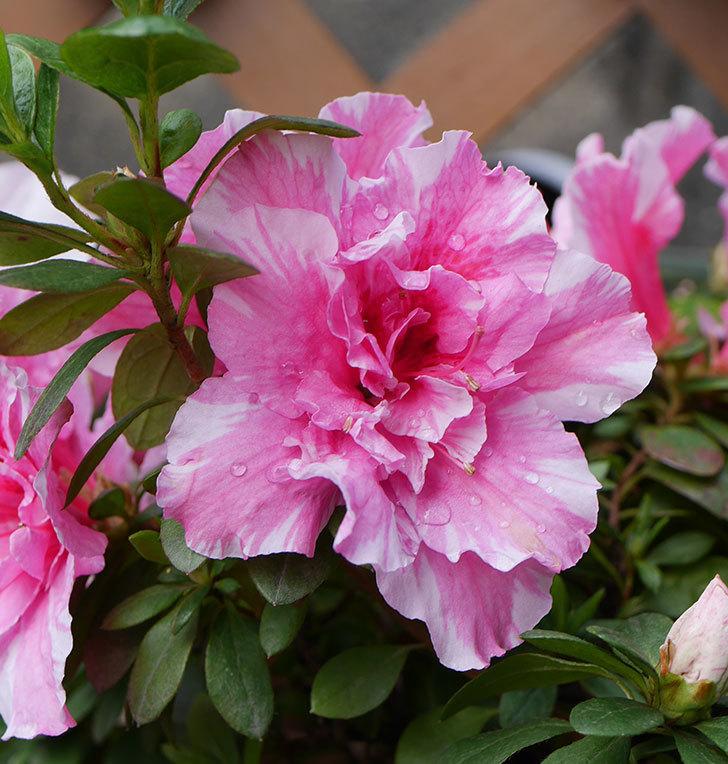 絞りのアザレアの花が増えて来た。2020年-4.jpg