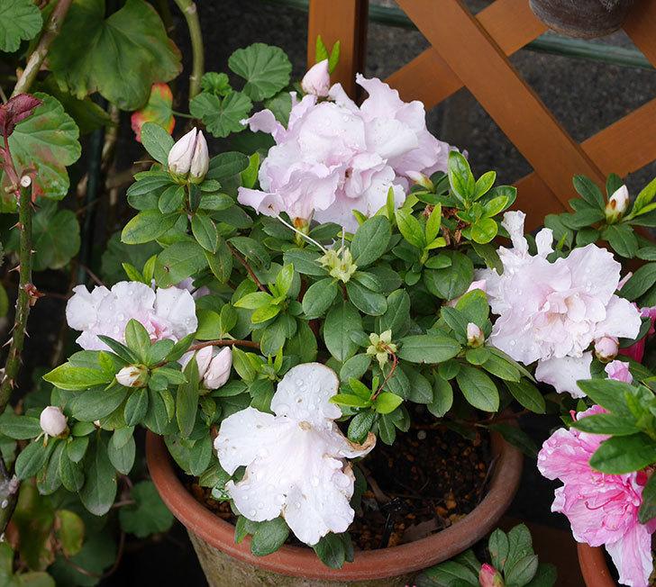 絞りのアザレアの花が増えて来た。2020年-5.jpg